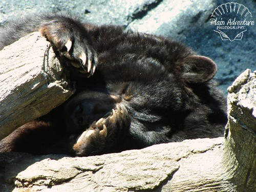 Black Bear Knoxville Zoo with watermark