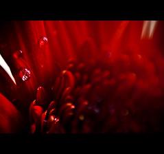 making of red drops (swarat_ghosh) Tags: lighting red india abstract macro reflection 50mm petals drops nikon asia pattern dof bokeh gerbera hyderabad d3000 swarat karltaylorphotographytop25picswinner