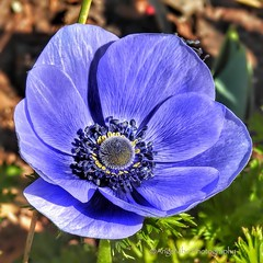 The Anemone Blossoms are out! (AngelVibePhotography) Tags: flower blossoms garden blossom nature blue anemone nikon photography macro flowers brightcolors bloom outdoor closeup northcarolina colorful nikonp900