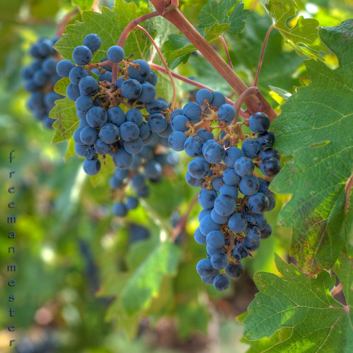 Happy Blue (red) Grape Monday