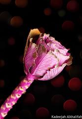 Bokeh brassica (Kadeejah Alkhalifah) Tags: pink flower rose al bokeh brassica   khalifah       kadeejah