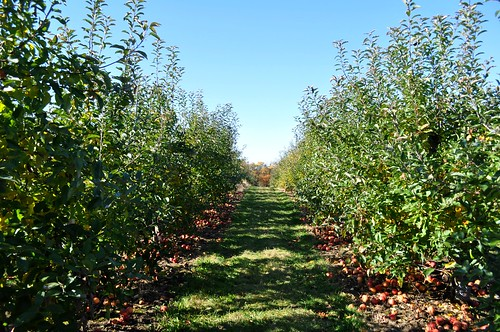 Apple Picking at Russell Orchard