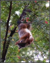 Ardilla (Patataasada) Tags: naturaleza tree nature animal rodent squirrel branch árbol rama ardilla roedor a3b a3bchallenge