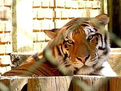 Facing (giumaiolini) Tags: animal zoo tiger zoolgico tigre bengaltiger tigredebengala pantheratigristigris royalbengaltiger pantheratigrisbengalensis