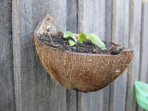 Coconut shell plant pot