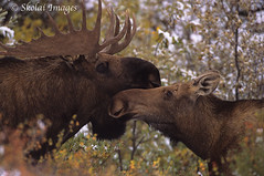 Bull Moose and cow, Denali National Park, Alaska. (Skolai-Images) Tags: horizontal alaska cow moose bull breeding rut denalinationalpark alcesalces carldonohue