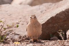 GVS_2669 (gvasquez) Tags: chile bird aves ave laguna miner minero morales morado passeriformes monumentonatural furnariidae geositta rufousbandedminer geosittarufipennis minerocordillerano