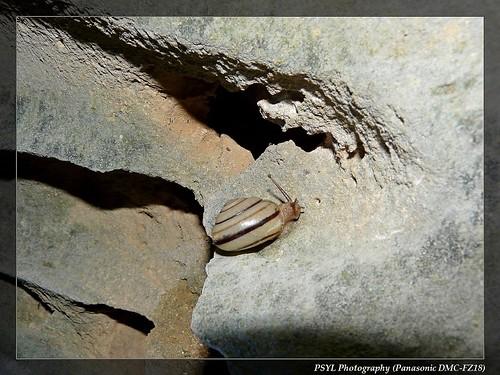 Pancala batanica pancala - 班卡拉蝸牛