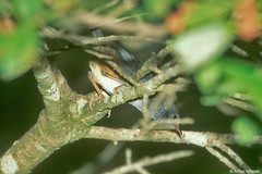 Scytalopus novacapitalis - Brasilia Tapaculo (arthurgrosset) Tags: fbwnewbird fbwadded scytalopusnovacapitalis brasiliatapaculo