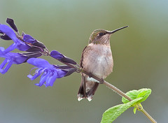 Ruby throated hummingbird perched on salvia plant (Edward Mistarka) Tags: flowers flower bird nature beautiful horizontal outdoors soft smooth maryland salvia nectar daytime positive inspirational striking balanced ecofriendly rubythroatedhummingbird archilochuscolubris naturesfinest featherweight physis wingedwonders avianexcellence excellenceinavianphotography eiap birdperched alittlebeauty hummingbirdperched environmentsafe birdperfect edwardmistarka mothernaturesgreenearth rubythroatedhummingbirdperched