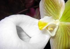 Paphiopedilum micranthum var. album (Mat.Tauriello) Tags: italy orchid roma italia orchids album orchidaceae species monte paph orchidee terrestrial rare 2009 var paphiopedilum mpc orchidshow slipperorchid monteporziocatone speciesorchid orchidspecies porzio terrestrialorchids catone cypripedioideae terrestrialorchid micranthum parvisepalum paphiopedilummicranthum cypripedieae paphiopedilinae globulosum orchideeincentro paphiopedilummicranthumvaralbum quotorchidee centroquot orchideeincentro2009