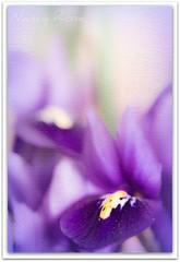 Inspiration (Nancy Rose) Tags: iris inspiration flower macro texture nature canon soft purple overlay frame watercolour dreamy f28 picnik