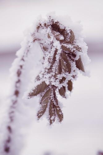 snowyleaf