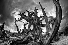 Reach for the Sky (Harold Davis) Tags: harolddavis bristlecone 8legs
