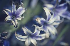 (www.tamcastrillejo.com) Tags: blue flores flower macro azul flor softness violet outoffocus desenfoque feist violeta suavidad enfoqueselectivo ltytr1