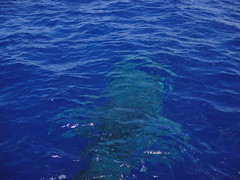 Whale Shark Big Island