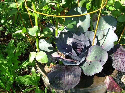 The cabbage started as a whim, but heck. How much longer before I can harvest it?
