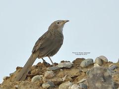 (CLICK GROUP معين الشريف Moeen) Tags: nature birds nikon معين jazan gizan السعودية طيور نيكون الشريف المملكةالعربيةالسعودية جيزان جازان الهويدي