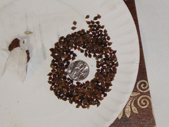 Buckwheat Seeds and a Quarter