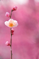 Ballet Blanc (*Sakura*) Tags: pink winter red flower nature japan plum  sakura  earlyspring