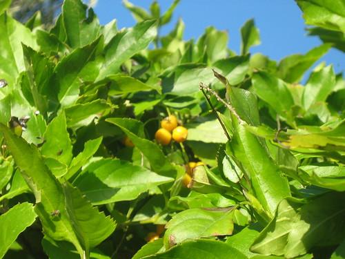 Golden dewdrop - meyve