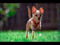 SuperPup (Emmanuel_D.Photography) Tags: california dog chihuahua green canon cool bokeh awesome pacman f2 135 pure emmanuel coolness astig 135mm 135l dasalla