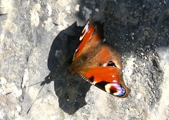 Peacock Butterfly, Inis Maan, Aran Islands (Jaobrien1980) Tags: butterfly aranislands peacockbutterfly inismaan