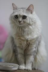 Mimi (candyz0416) Tags: cats mimi canonef100mmf28lmacroisusm cats2010