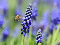 Grape Hyacinth  (sunnyha) Tags: flowers hk plant flower macro green nature closeup canon insect hongkong is spring blossom outdoor flor bee photograph 7d bloom usm   abeja   flowershow abeille photographier   grapehyacinth          muscaribotryoides beautyinnature f456  ef70300mmf456isusm ef70300mm hongkongflowershow   canoneos7d  sunnyha hongkongflowershow2010