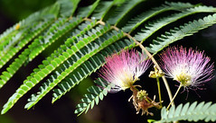 The Art of Nature (Kiwi~Steve) Tags: newzealand flower nikon nz silktree albizia nikond90