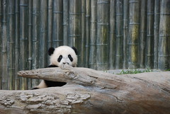 Peeking out and over (jdbartross) Tags: panda endangered sandiegozoo sdz yunzi yunior