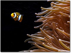 Fish #5 (Cortex69) Tags: orange fish water lumix eau nemo panasonic exotic g1 fishes poisson 43 poissons exotique specanimal 100commentgroup cortex69
