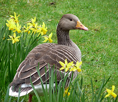 In the Daffs (coxy2001) Tags: panasonic regentspark dmcfz28 mygearandmepremium
