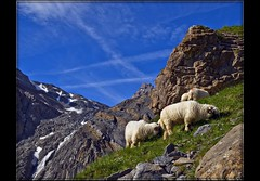 Switzerland the Ltschental .( 100 ) (Izakigur) Tags: alps liberty schweiz switzerland nikon europa europe flickr sheep suisse suiza swiss feel kandersteg bern d200 helvetia nikkor svizzera berne mouton lepetitprince ch berna dieschweiz musictomyeyes  berneroberland bernese