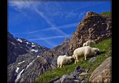 Switzerland the Lötschental .( 100 ) (Izakigur) Tags: alps alpes landscape liberty schweiz switzerland nikon europa europe flickr sheep suisse suiza swiss feel 1755mmf28g kandersteg bern d200 alpen helvetia nikkor svizzera berne mouton lepetitprince ch berna dieschweiz musictomyeyes 瑞士 berneroberland berneseoberland 1755 suizo 스위스 myswitzerland lasuisse nikond200 nikkor1755f28 nikkor1755 lotschental kantonbern nikon1755f28g theunforgettablepictures izakigur cantonofbern suisia laventuresuisse izakigur2009 mygearandmepremium mygearandmebronze mygearandmesilver mygearandmegold mygearandmeplatinum izakiguralps izakigurberne