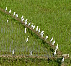 Cattle Egret (Bubulcus ibis) in a Ricefield near Bhagirathi River, Jharkhand (Sekitar) Tags: green bird nature river cattle paddy natur ibis ricefield egret sawah alam jharkhand burung bubulcus bhagirathi sekitar kuhreiher sekitar