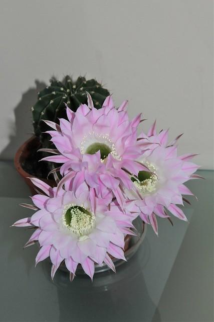 Echinopsis eyriesii = Echinopsis oxygona