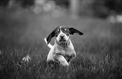 Stella (Zach Boumeester) Tags: blue white black film analog 35mm puppy nikon kodak trix grain hound 150 300mm coon tick 135 pup nikkor rodinal f28 coonhound afi bluetick n90s r09 efid