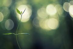 elegant (~janne) Tags: nature 50mm dof bokeh natur olympus wetzlar leitz janusz summiluxr e520 ziob