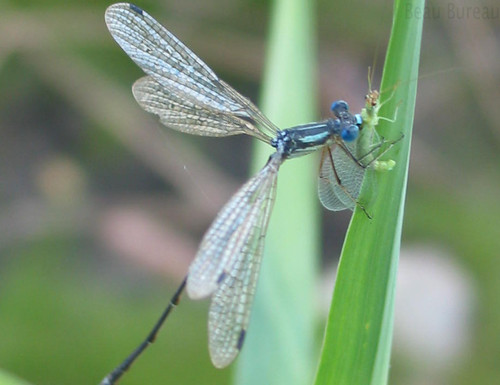 Damselfly eating Insect by BBureau