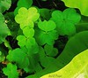 Shamrocks (gailpiland) Tags: irish holiday shamrocks photoart tmi stpatsday vividimagination thegalaxy flickraward theperfectphotographer thebestofday awardtree gailpiland ringexcellence