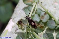 inseto (Luiz Filipe Varella) Tags: inseto insects brazil brazilian spécies espécies brasileiras gaúchas rio grande do sul animais fauna