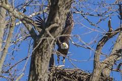 BALD EAGLES NESTING ON LEVEE RD (nsxbirder) Tags: baldeagle haliaeetusleucocephalus brookville indiana whitewaterriver franklincounty
