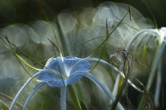 Blue and bubbles_c (gnarlydog) Tags: bokeh softlight softfocus meyeroptikdiaplan100mmf28 projectionlens refittedlens vintagelenseffect manualfocus abstract australia flowers dreamy soapbubbles speckledhighlights nature