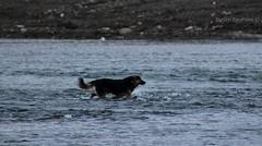 Dog passing the river (BesimIbrahimii) Tags: dog animal animals river water mitrovice mitrovica kosovo kosova