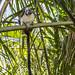 Geoffroy's tamarin monkey - wild titi monkeys gamboa panama pandemonio 2017 - 12