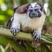 Geoffroy's tamarin monkey - wild titi monkeys gamboa panama pandemonio 2017 - 10