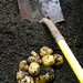 Harvesting Yukon Gold Potatoes