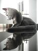Chat Bleu Russe • Russian Blue Cat •lui05