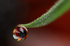 Flower dewdrop refraction #3 (Lord V) Tags: flower macro water dewdrop refraction